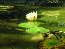 Lilly pad. by pixieangel3