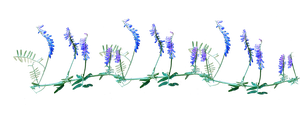 tufted vetch png by Amalus