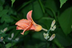 lily by DeniseSchingeck