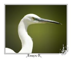 White heron's head by AMROU-A