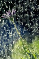 When the rain meets the flower by incredi