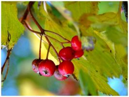 autumn berries..--..--... by burcyna