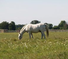 White Horse by SolStock