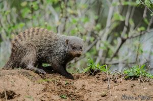 Striped Mongoose by AnneMarks
