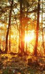 The Golden Forest by Thilu