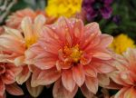 Dewy Dahlias by FlowerFreak