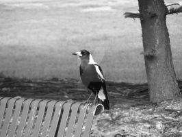 park bench magpie by moregrogpleaze