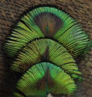 Feather Close-Up: Blue Peafowl II by Camera-Silens