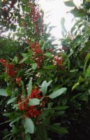 Bright Red Berries by enigmotion