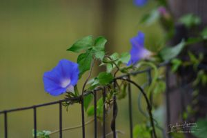 Morning Glories by AppareilPhotoGarcon