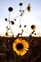SUN FLOWERS by SublimeBudd
