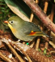 Red-billed Leiothrix by PhotoHunny
