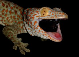 Tokay gecko defence by AngiWallace