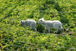 Stock34sheep by BAproductions