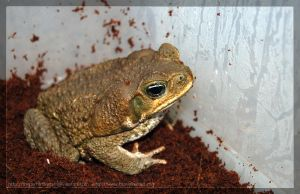 Marine Toad by theperfectlestat