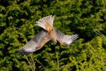 Black kite swerve. by quaddie