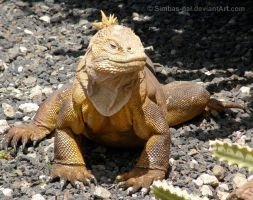 Galapagos Land Iguana by Simbas-pal