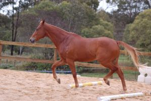 TB trot side on legs lifted by Chunga-Stock