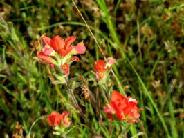 Indian Paint Brush by Chris01125