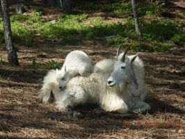 Mount Rushmore Mountain Goats by KayJay777