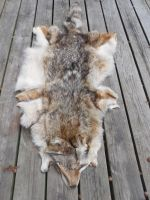 Northern Male Coyote Pelt [For Sale] by Saceronsage