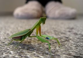 Prayingmantis by LauraLeeIlly