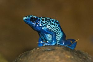 Blue Poison Dart Frog by BlackxLipgloss