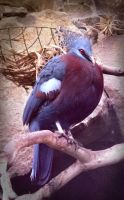 Victoria Crowned Pigeon by Ionday