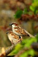 House Sparrows by JetteReitsma