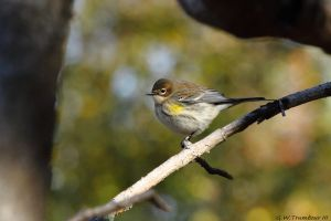 Yellow Rumped Warbler 2015 2 by natureguy