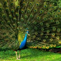 Peacock by Alyphoto