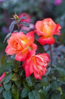 Portland Rose Gardens II by vmulligan