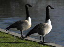 Canada Geese by sandyprints