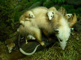 Opossum Mother and Babies by CrossFade1105
