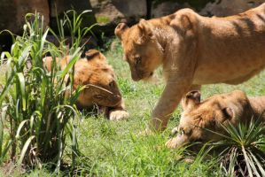 Lionesses2 by Lynxwing