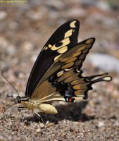 Giant Swallowtail by Drigerphotography