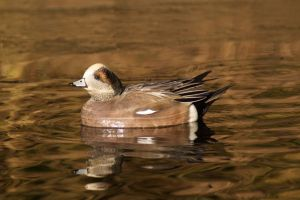 Widgeon in Fall Colours by SonjaStarke