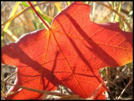Glowing Red Maple Leaf by aelthwyn