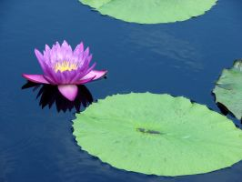 Purple Water Lily by Fugu-5
