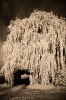 Weeping Willow HDR*IR by vw1956