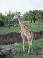Stock: Giraffe by equizotical