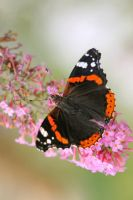 Red admiral by MireilleLeurs