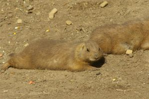 Prairie dog Stock by Astralsteed