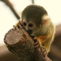 Squirrel monkey by HappyStarfish85
