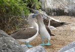 Blue-footed Boobies in Love by Simbas-pal