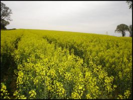 Field Of Yellow Dreams by Hitomii