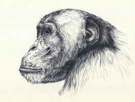 chimpanzee portrait by ullator