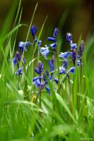 When bluebells seemed like fairy gifts by George---Kirk
