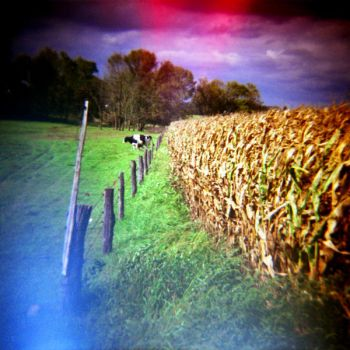 old corn and cow by cedmundmiller