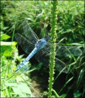 dragonfly 3 by LuciaBlueFlower